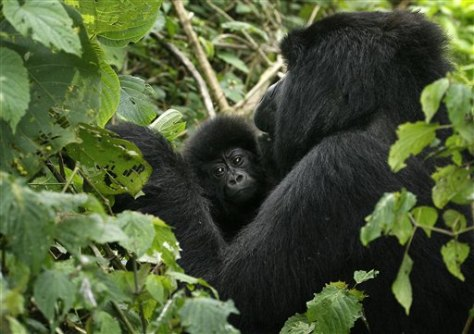 Image: Gorilla and baby