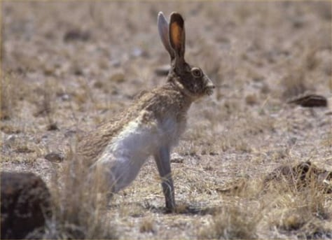 Image: White-sided Jackrabbit