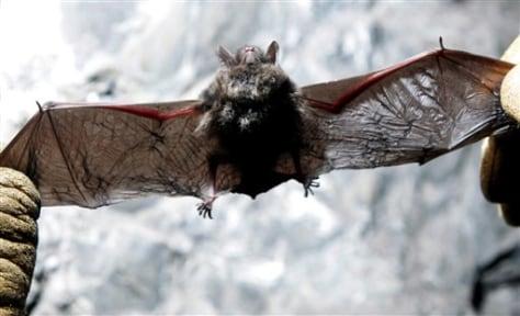 Image: Dead bat