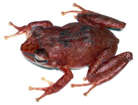 Image: Red Coqui frog