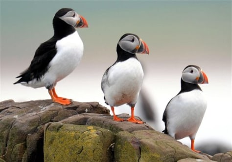 IMAGE: Puffins