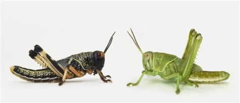 Transforming Locusts