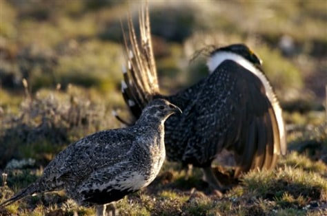 Image: Sage grouse