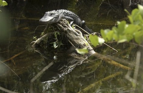 Image: Alligator