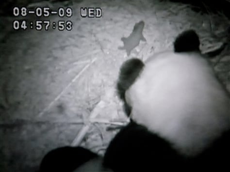 Image: Panda birth