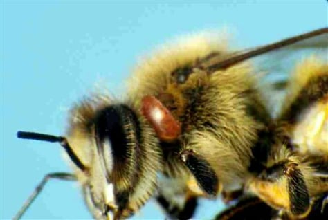 Image: Bee with parasite near its eye