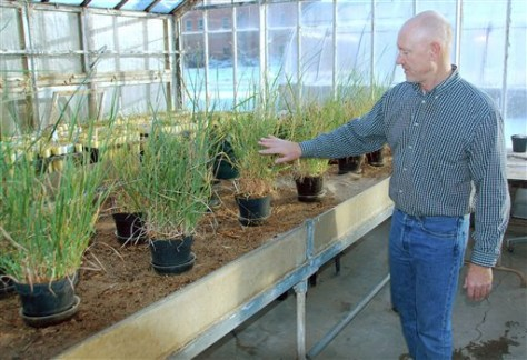 IMAGE: Switchgrass inside greenhouse