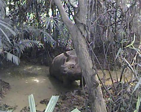 Image: Javan Rhino