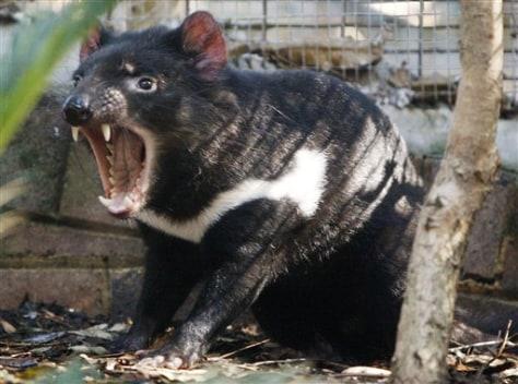 Image: Australia Tasmanian devils