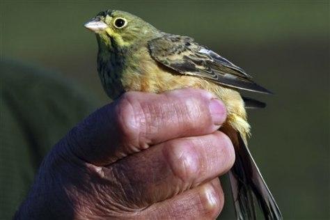 IMAGE: ORTOLAN BIRD