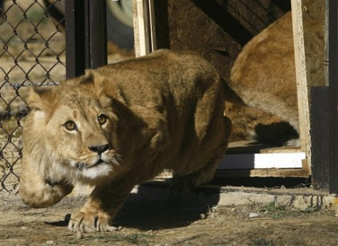 IMAGE: LION CUB WARILY STEPS OUT OF CAGE