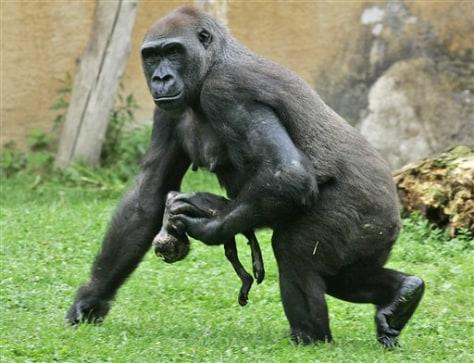 Image: Mourning gorilla