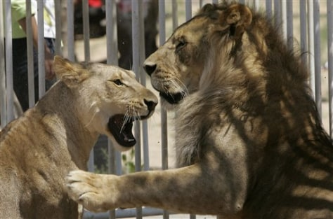 Image: Lions in Gaza zoo