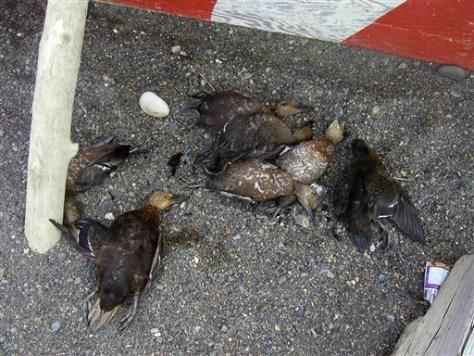 Image: Dead Steller's eider ducks