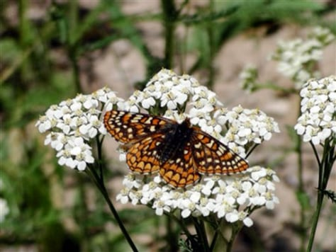 Image: Sacramento Mountains checkerspot butterfly