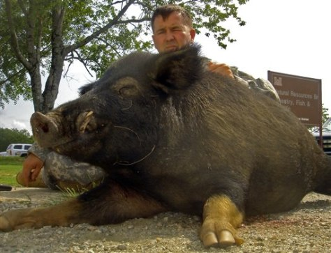 Pig Czar