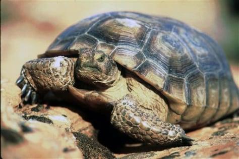 IMAGE: Desert Tortoise