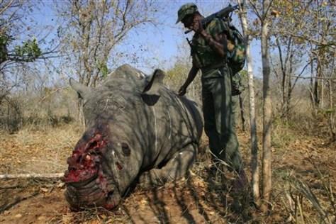 Image: Rhinoceros corpse