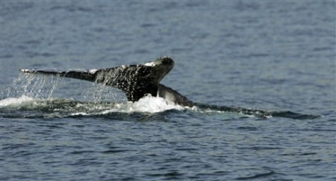 IMAGE: GRAY WHALE OFF CALIFORNIA