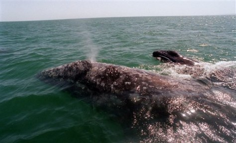 Image: Gray whale and baby