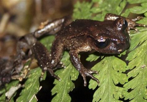Image: Maud Island frog