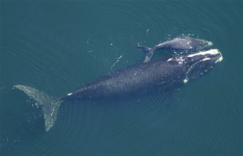 Image: right whale and calf