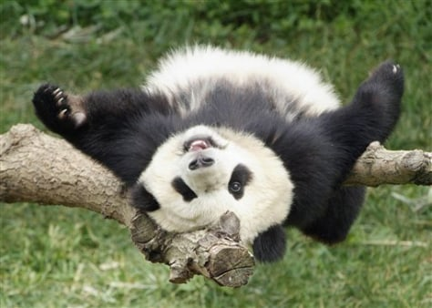 Image: National Zoo Panda