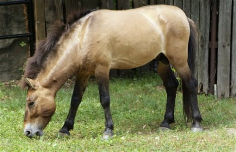 "Image: Endangered horse named ""Minnesota"""
