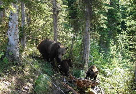Image: Grizzly with cubs