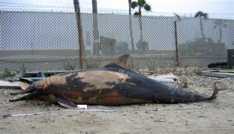 IMAGE: Shot dolphin