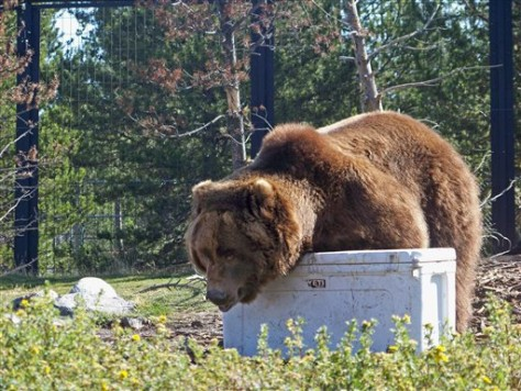 Grizzly Bear Coolers