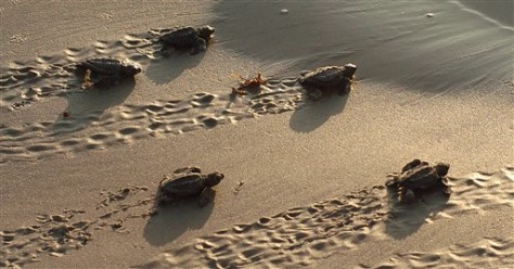 IMAGE: Sea Turtles