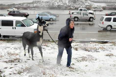 Image: Woman takes alpaca for walk in snow