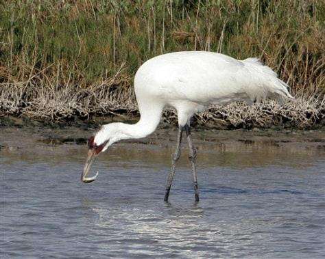 Image: Whooping crane