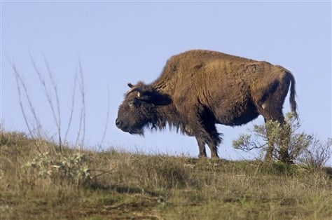 Catalina Bison