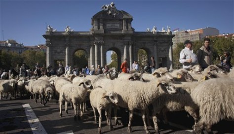 Image: Hundreds of sheep are driven along Alcala street