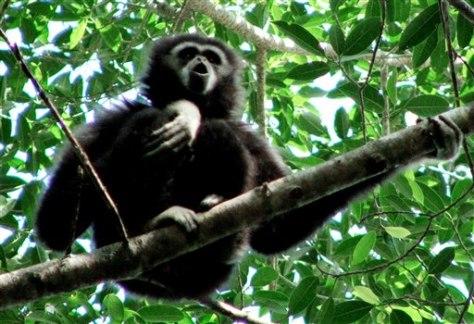 Image: Wild gibbon