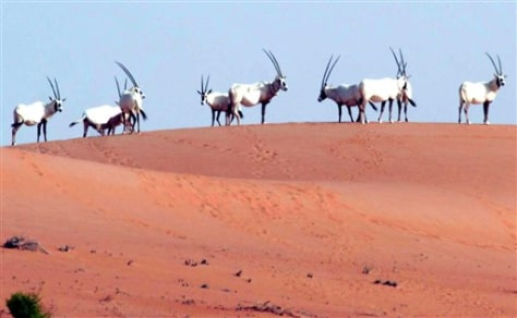 IMAGE: ARABIAN ORYX