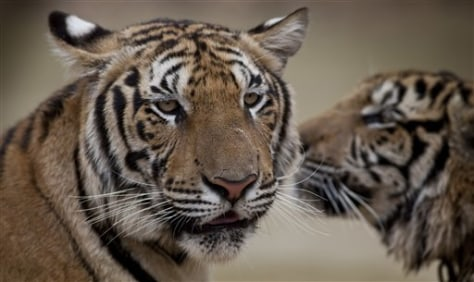 Save Tiger Images Image Tigers