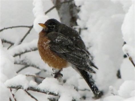 IMAGE: ROBIN IN SNOW