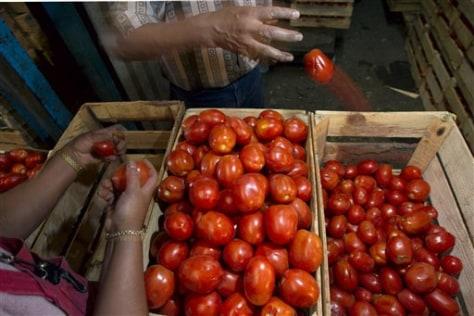 Image: Sorting tomatoes