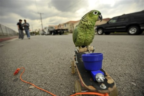 Image: Gordo the skateboarding parrot