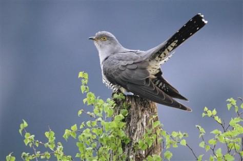 Image: Cuckoo bird