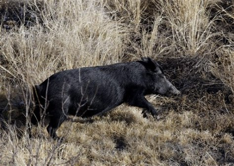 Image: Feral hog in Texas