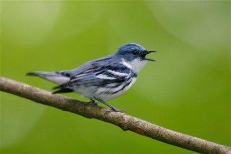 Image: Cerulean warbler