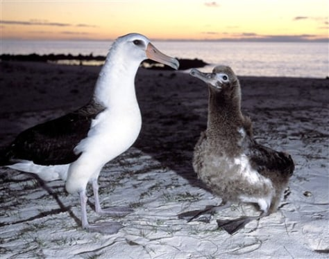 IMAGE: ALBATROSS AND CHICK