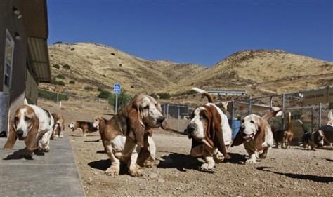 Image: Basset hounds
