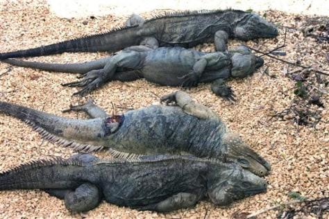 IMAGE: DeadBlue Iguanas