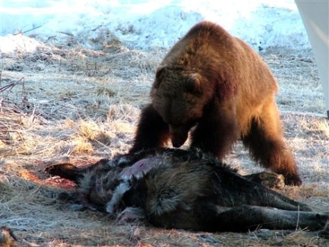 Image: Bear with dead moose