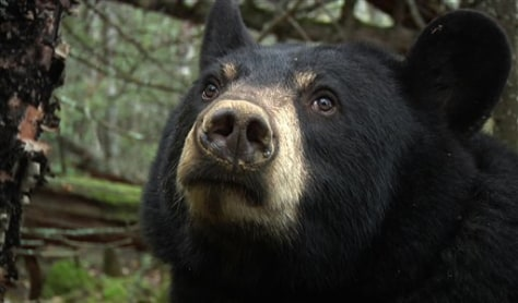 Image: Lily, the black bear